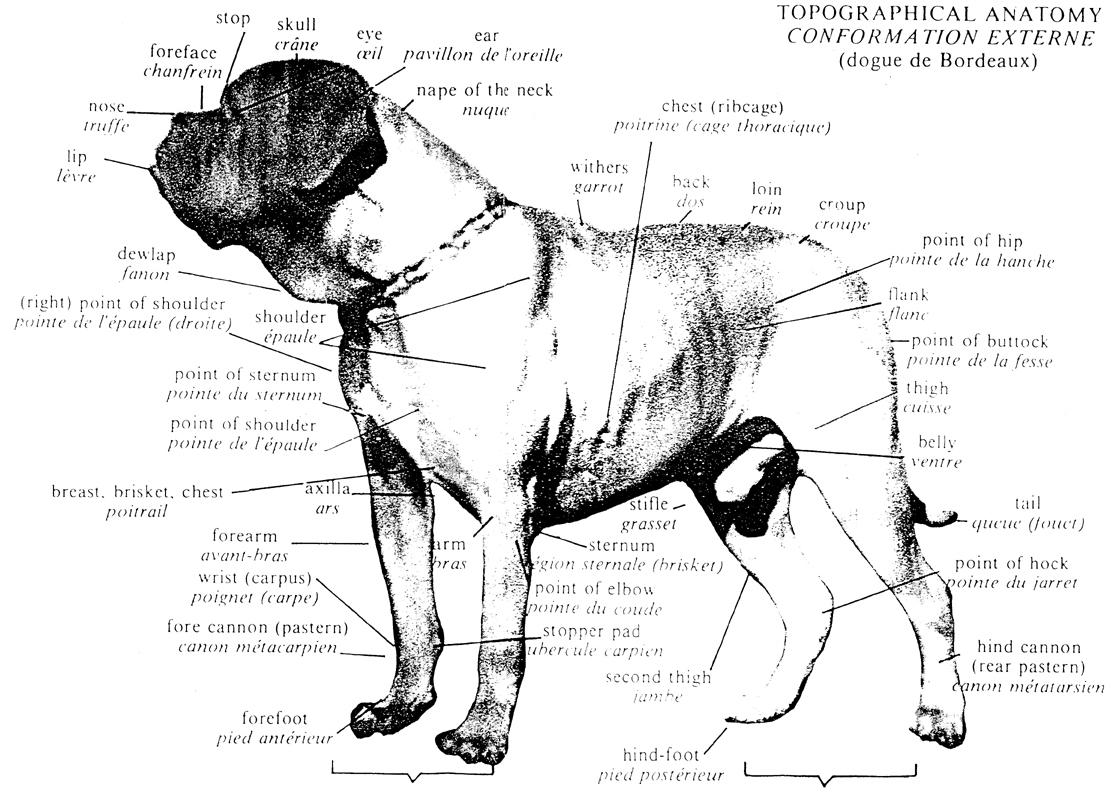 CountryDogues - Dogue de Bordeaux FCI standard. Breeding Dogue de ...