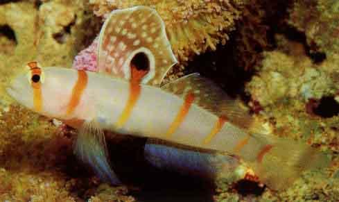 Pinkspotted Shrimp Goby (Cryptocentrus leptocephalus)